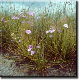 Byblis gigantea, carnivorous plants