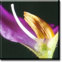 Carnivorous plants - Byblis gigantea