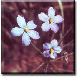 Carnivorous plant - Byblis linifolia