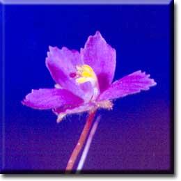 Carnivorous plants - Byblis linifolia