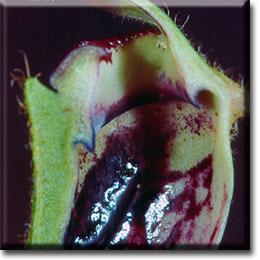 Carnivorous plant - Cephalotus follicularis