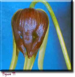 Carnivorous plant - Darlingtonia californica
