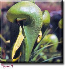 Carnivorous plants - Darlingtonia californica