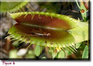 venus flytrap, carnivorous plant, Dionaea muscipula