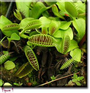 venus flytrap, carnivorous plants, Dionaea muscipula