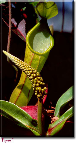 Nepenthes, Monkey Cups, Carnivorous plants
