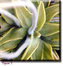 Pinguicula caerulea, butterworts, Sherwin Carlquist, Carnivorous plant