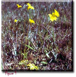 Pinguicula lutea, Sherwin Carlquist, butterworts, Carnivorous plants