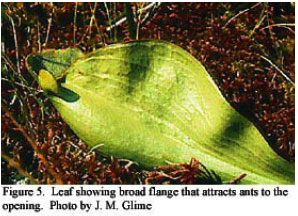 carnivorous plant, sarracenia