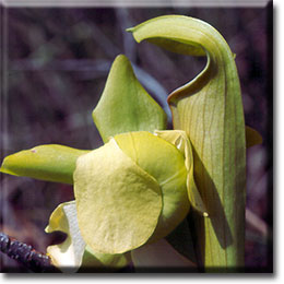 Carnivorous plant - Sarracenia alata