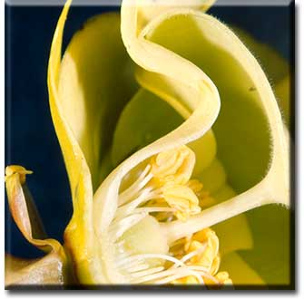 Carnivorous plant - Sarracenia flava