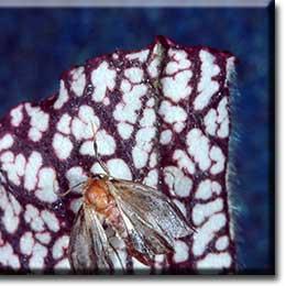 Carnivorous plant - Sarracenia leucophylla