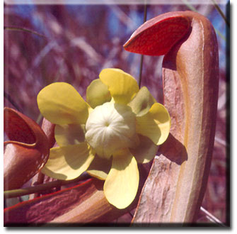 Carnivorous plant - Sarracenia minor
