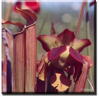 Carnivorous plant - Sarracenia rubra