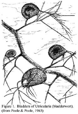 Utricularia, carnivorous plants