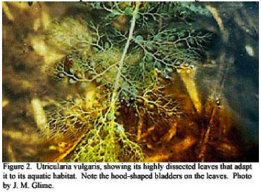 Utricularia, carnivorous plant