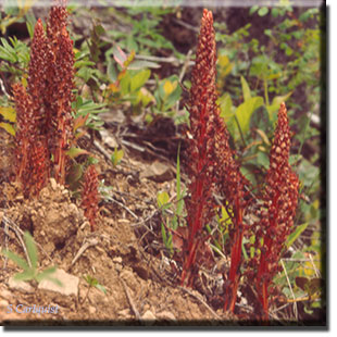 parasitic plant - Allotropa virgata