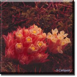 parasitic plant - Hemitomes congestum