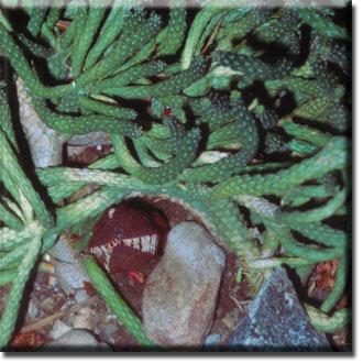 parasitic plant - Hydnora africana