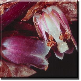 parasitic plant - Monotropsis odorata
