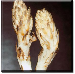 parasitic plant - Pleuricospora fimbriolata
