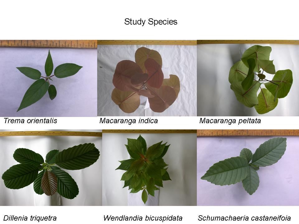 Uromi Goodale,Study species