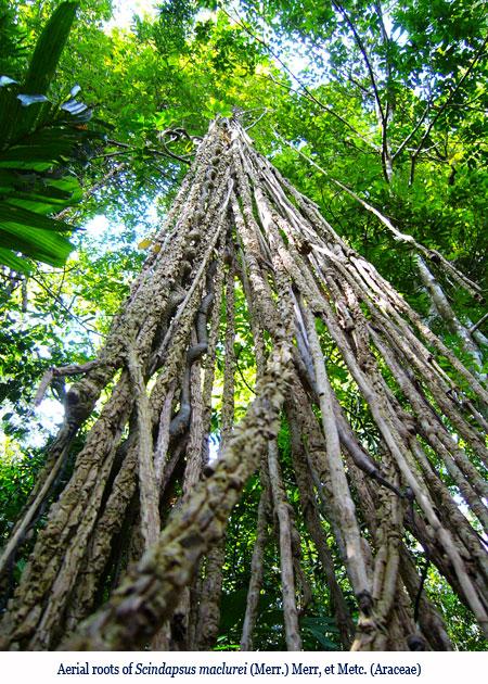 Wenchi Jin, Aerial roots of Scindapsus maclurei (Merr.) Merr, et Metc. (Araceae)