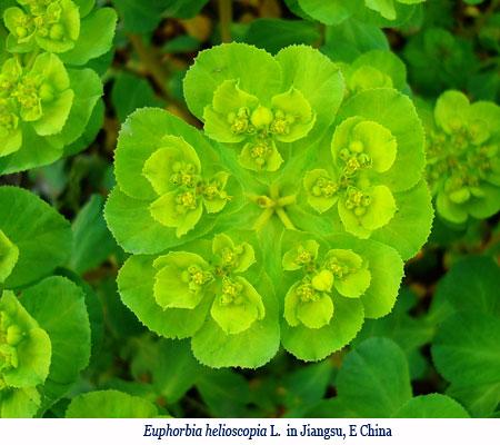 Wenchi Jin, Euphorbia helioscopia L.  in Jiangsu, E China