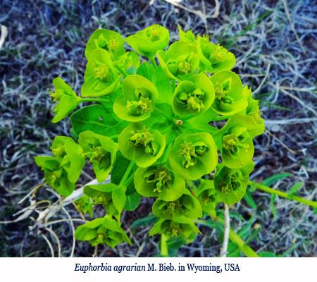 Wenchi Jin, Euphorbia agrarian M. Bieb. in Wyoming, USA