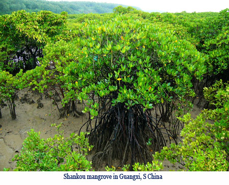 Wenchi Jin, Shankou mangrove in Guangxi, S China