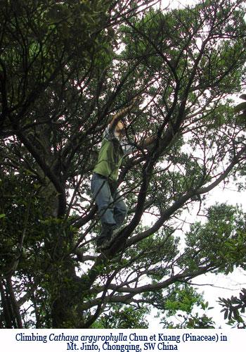 Wenchi Jin, Climbing Cathaya argyrophylla Chun et Kuang (Pinaceae) in Mt. Jinfo, Chongqing, SW China