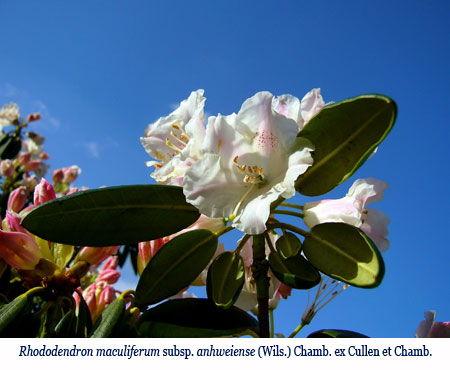 Wenchi Jin, Rhododendron maculiferum subsp. anhweiense (Wils.) Chamb. ex Cullen et Chamb.