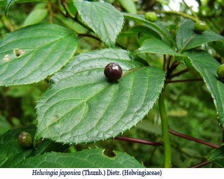 Wenchi Jin, Helwingia japonica (Thumb.) Dietr. (Helwingiaceae)