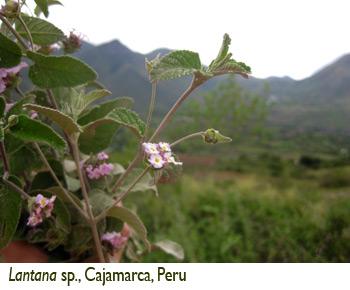 Patricia Lu-Irving, Lantana sp., Cajamarca, Peru
