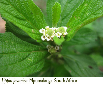 Patricia Lu-Irving, Lippia javanica, Mpumalanga, South Africa