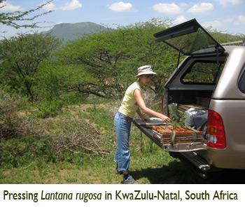 Patricia Lu-Irving, Pressing Lantana rugosa in KwaZulu-Natal, South Africa