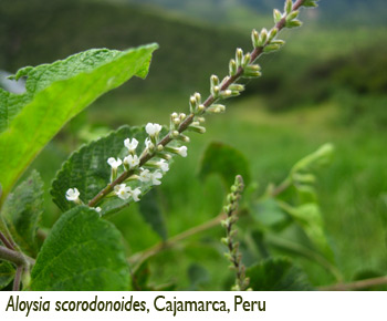 Patricia Lu-Irving, Aloysia scorodonoides, Cajamarca, Peru