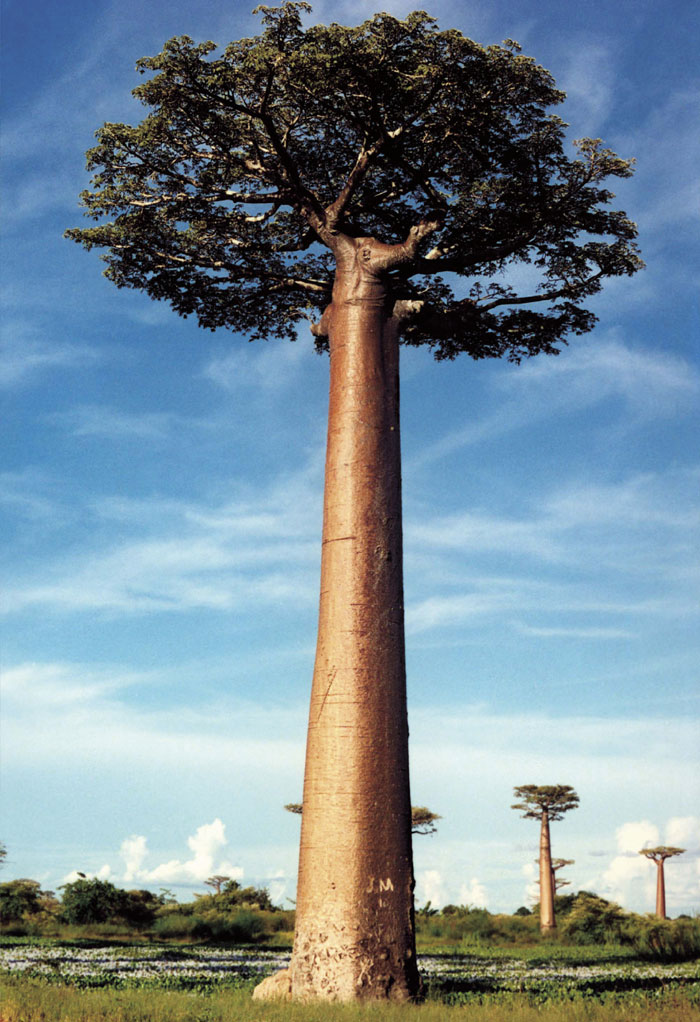the baobabs trees of considerable importance Trees of great value for their dense,  and is certainly of considerable rel evance and importance to worldwide efforts at  baobabs and all their extraordinary and.