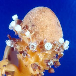 setSC-Balanophora_fungosa-3