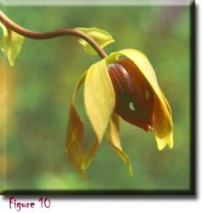 setSC-Darlingtonia_californica-10