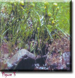setSC-Darlingtonia_californica-1