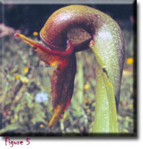 setSC-Darlingtonia_californica-5