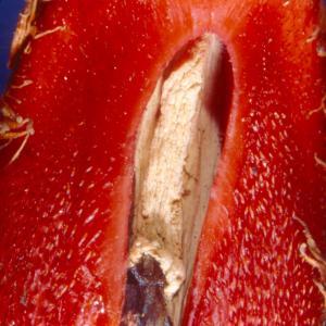 setSC-Hydnora_africana-7