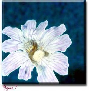 setSC-Pinguicula_caerulea-7