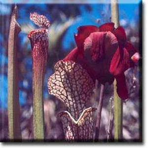 setSC-Sarracenia_leucophylla-4