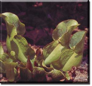 setSC-Sarracenia_purpurea-1