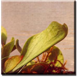 setSC-Sarracenia_purpurea-2